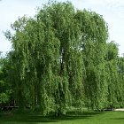 Tree conservation works including removal of willow tree